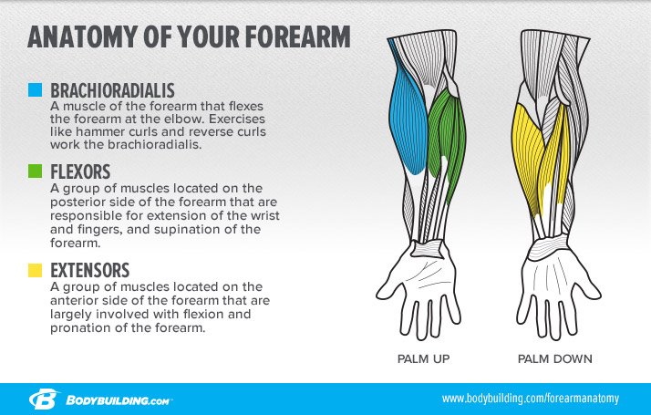 anatomy-of-your-forearm_infographic-v2.jpg