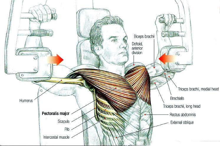 როგორ გაზრდის კუნთების წევრი